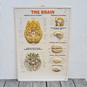 the-brain-human-body-chart-vintage-plastic-poster-1