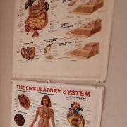 the-digestive-system-huma-body-chart-vintage-plastic-poster-2